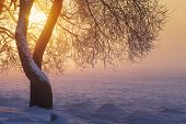 Winter Sunlight In Evening At Sunset Through Tree Branches. Winter Landscape. Yellow Sunshine. Snow poster