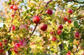 Apples Red Ripe Fruits On Branch Sky Background. Apples Harvesting Fall Season. Gardening And Harves poster