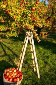 Apple Garden Nature Background Sunny Autumn Day. Gardening And Harvesting. Fall Apple Crops Harvesti poster