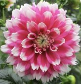 Pink And White Fuzzy Wuzzy Dahlia Flower poster