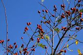 Big Wild Rose Hip Shrub In Autumn, Rose Hip Also Called Rose Haw Fruits In Early October On Branches poster