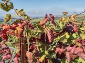 Leaves Of Vines In Laghe Countryside poster