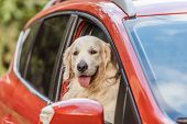 Beautiful Golden Retriever Dog Sitting In Red Car And Looking At Camera Through Window poster