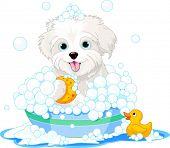 image of soapy  - White fluffy dog having a soapy bath - JPG