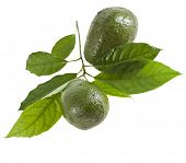 image of avocado tree  -  Avocado fruits with leaves from Avocado tree - JPG