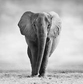 image of elephant ear  - Artistic black and white image of an African Elephant walking towards the camera - JPG