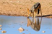 picture of jackal  - Jackal drinking water in desert with reflection