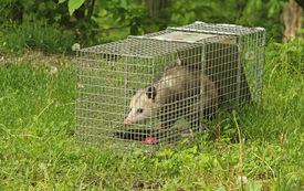 stock photo of opossum  - Virginia opossum Didelphis virginiana in a trap - JPG