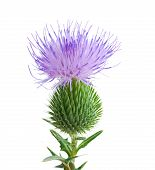 pic of cardo  - thistle flower isolated on a white background - JPG