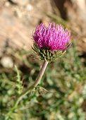stock photo of cardo  - thistle flower on the mountain - JPG