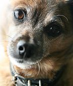 stock photo of chihuahua mix  - a very old senior dog - JPG