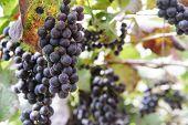 image of garden eden  - Grapes in the vineyard the garden of Eden Chiang Mai Thailand - JPG