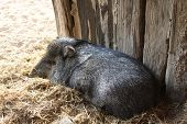 stock photo of javelina  - A collared peccary or javelina - JPG
