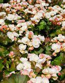 picture of begonias  - Begonia flowers in garden  - JPG