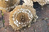 foto of grub  - Inside of a wasps nest showing wasps and grubs - JPG