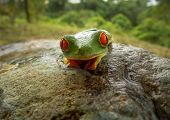 stock photo of red eye tree frog  - Costa Rican Red Eye Tree Frog on a big rock staring straight at you - JPG