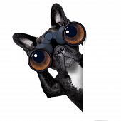 image of observed  - binoculars dog searching looking and observing with care beside a white blank banner or placard - JPG