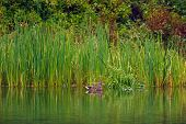foto of cattail  - Duck relaxing by the cattail reeds near the edge of a pond - JPG