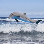 stock photo of bottlenose dolphin  - jumping dolphin - JPG