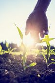 stock photo of early spring  - Retro image of male hand reaching down to a young maize plant growing in an agricultural field backlit by a bright early morning burst of sunlight with sun flare around the plant and hand.