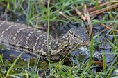 stock photo of monitor lizard  - Closeup of Monitor Lizard in Chobe National Park, Botswana. Focus on Head ** Note: Shallow depth of field - JPG