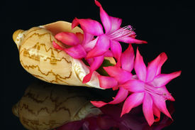 pic of peyote  - Bowl of a marine cockleshell with a fine pink shining flower peyote  - JPG