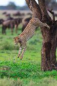 image of cheetah  - Cheetah jumping from tree in Southern Serengeti - JPG