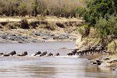 image of wildebeest  - Wildebeest  - JPG