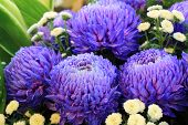 picture of chrysanthemum  - Chrysanthemum flowers - JPG