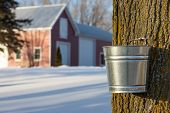 stock photo of tapping  - Tapping maple trees for their sap in the Spring - JPG