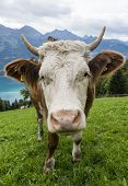 stock photo of cow head  - White head of cow with eyes and lashes and serveral flies in meadow in Switserland. ** Note: Soft Focus at 100%, best at smaller sizes - JPG