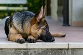 picture of piccolo  - Giovane esemplare di cucciolo di pastore tedesco - JPG