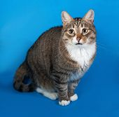 foto of blue tabby  - Tabby and white cat with sick eyes sitting on blue background - JPG