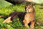 picture of cougar  - Beautyfull female fierce cougar laying in grass - JPG
