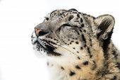 stock photo of snow-leopard  - 3 - JPG
