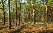 foto of fir  - Beautiful green pine trees in spring forest at sunset - JPG