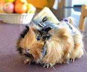 picture of guinea pig  - guinea pigs brown pets Zvolen 19 - JPG