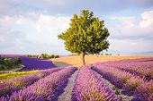 image of lavender field  - Lavender fields near Valensole in Provence France on sunset - JPG