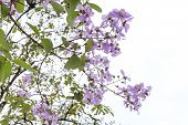 stock photo of crepe myrtle  - Queen Flower On Tree in sunny day - JPG