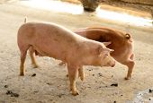 picture of pig  - example of  pig in Thai stlye commercial pig farm  - JPG