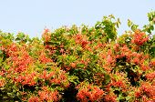 image of creeper  - beautiful Mexican Creeper flower  - JPG