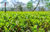 pic of darjeeling  - green tea plantation landscape of Darjeeling India - JPG