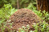stock photo of summer insects  - Big anthill with colony of ants in summer forest - JPG