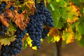 stock photo of merlot  - Grapes for Merlot wine on the winery field - JPG
