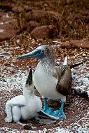 picture of boobies  - Blue footed booby with booby chick in the Galapagos Islands, Ecuador ** Note: Shallow depth of field - JPG