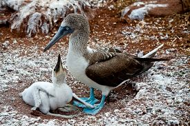 stock photo of boobies  - Blue footed booby with booby chick in the Galapagos Islands, Ecuador ** Note: Shallow depth of field - JPG