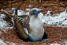 stock photo of boobies  - Portrait of blue footed booby nesting in the Galapagos Islands, Ecuador ** Note: Shallow depth of field - JPG