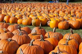 picture of carving  - Pumpkins stacked in rows and waiting for families to choose them for carving on Halloween