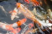 picture of freshwater fish  - CARP or fancy carp also known as fancy carp black carp. Or carp IX. A freshwater fish of the carp. Japanese Koi called ** Note: Soft Focus at 100%, best at smaller sizes - JPG