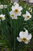 pic of daffodils  - white daffodils growing in the flowerbed closeup - JPG